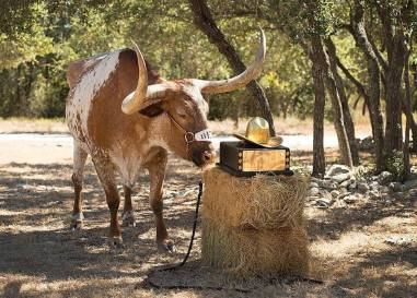 10/13/2015: Bevo's retirement was announced shortly after the Horns' 24-17 upset victory over ou. The Spurs brought the Golden Hat trophy to his ranch so Bevo could celebrate in style—with hay! (photo via UT Athletics)
